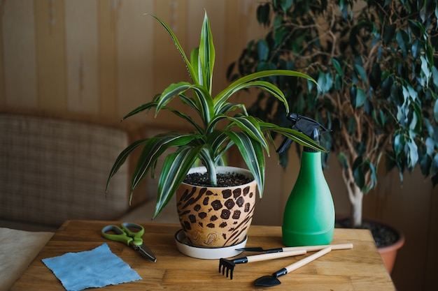 Spring houseplant care waking up indoor plants for spring female hands spray and washes the leaves P