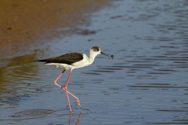 春の渡り鳥黒翼の高床式、himantopus himantopus 無料写真