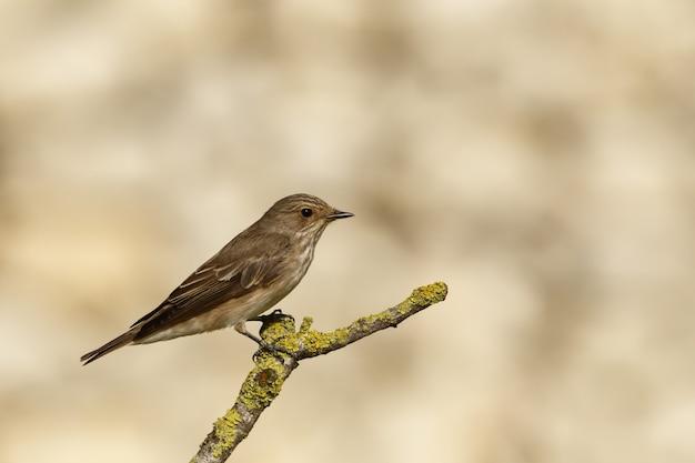 Весенний мигрант пятнистая мухоловка muscicapa striata Бесплатные Фотографии