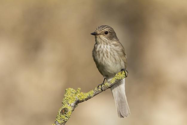 Весенний перелет мухоловка пятнистая muscicapa striata Бесплатные Фотографии