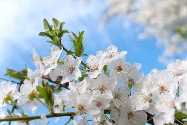 Spring nature background with cherry blossom on blue sky background Premium Photo