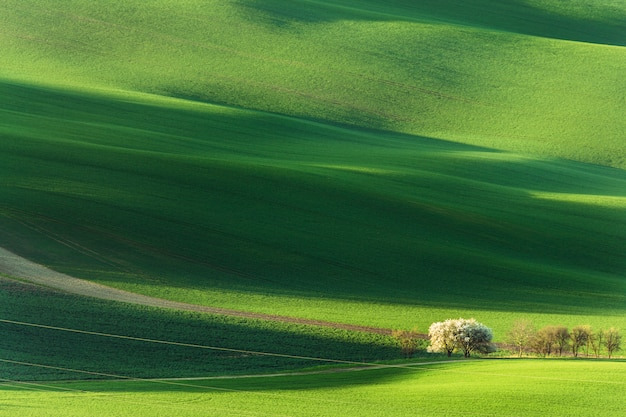 Spring rural nature landscape with blossoming flowering trees on green wavy rolling hills. Premium Photo