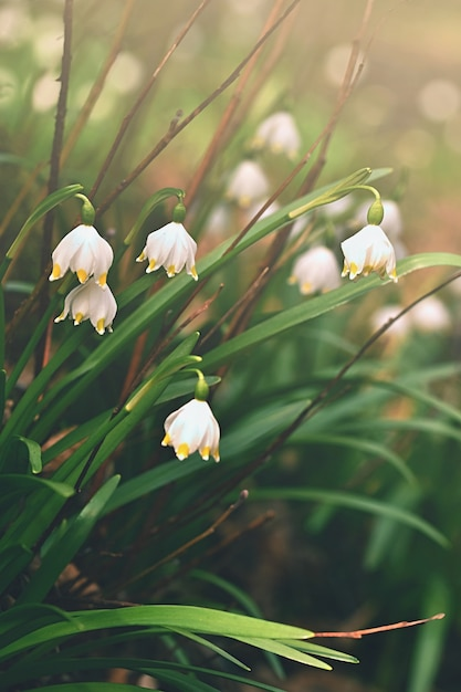 Spring snowflakes flowers leucojum vernum carpaticum beautiful spring snowflakes flowers leucojum vernum carpaticum beautiful blooming flowers in forest with natural mightylinksfo