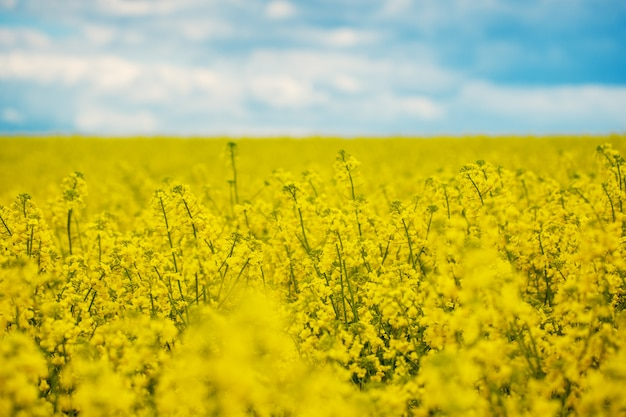 Spring yellow field rapeseed in bloom and beautiful blue sky. Premium Photo