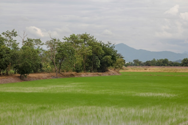 Sprout rice plant farm in thailand before sunset Premium Photo