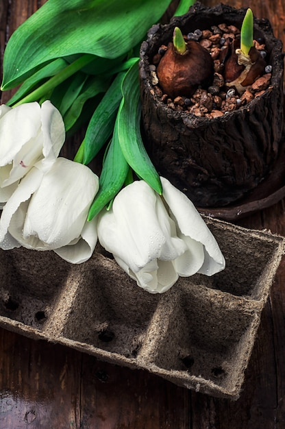 Sprouted bulbs on white background fresh cut tulips Premium Photo