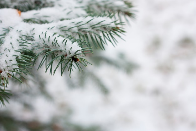 Spruce branches with snow Premium Photo