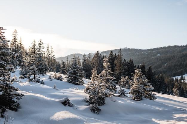 Bosco di abeti rossi durante l'inverno coperto di neve Foto Gratuite