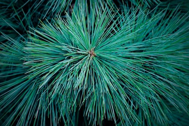 Spruce green branch close-up, conifer background Premium Photo