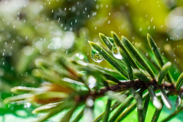 Spruce needles close-up with drops of water on it and small drops around Premium Photo