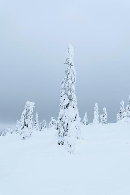 Abeti coperti di neve nel parco nazionale riisitunturi, finlandia Foto Gratuite
