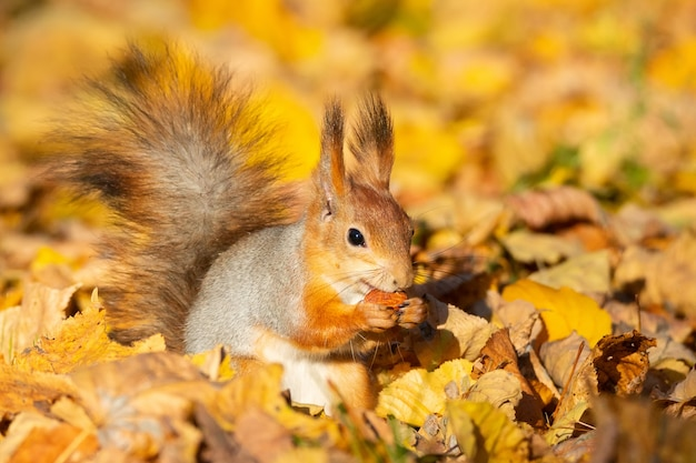 Squirrel in the autumn park Premium Photo