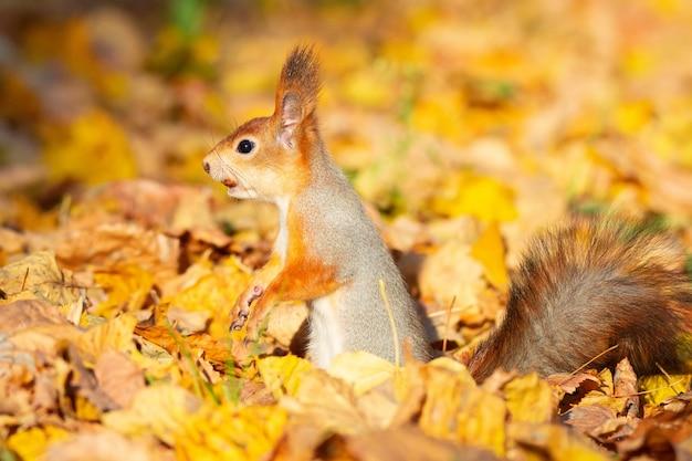 Squirrel in the autumn park Premium Photo