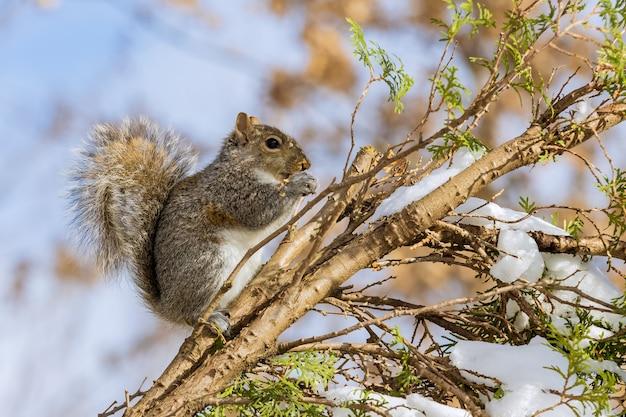 Белка ест грецкий орех на елке зимой в лесопарке Premium Фотографии