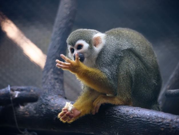 Squirrel monkey eats fruit in a zoo Premium Photo