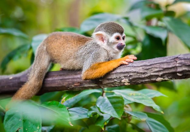 Squirrel monkey in the green forest Premium Photo