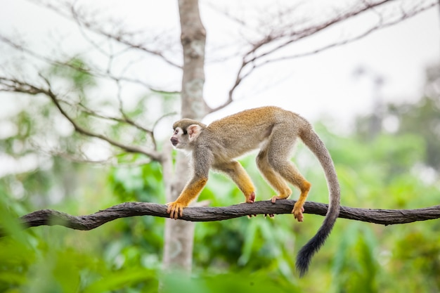 Squirrel monkey in the green forest Premium Photo