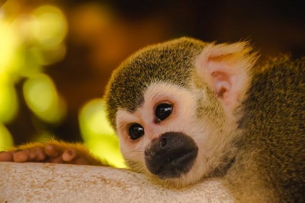 Squirrel monkey.squirrel monkey sleeping on the floor. Premium Photo