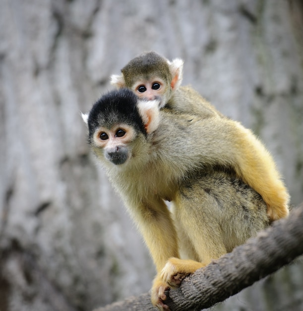 Squirrel monkey with its baby sits on a rope in a zoo Premium Photo