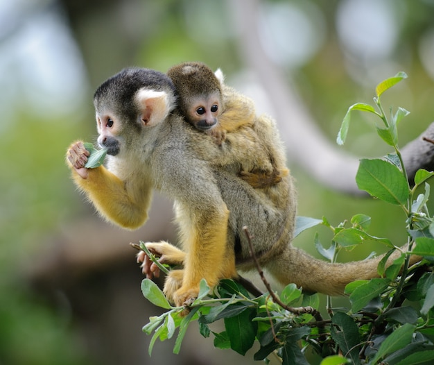 Squirrel monkey with its baby sits on a tree branch eating leaf Premium Photo