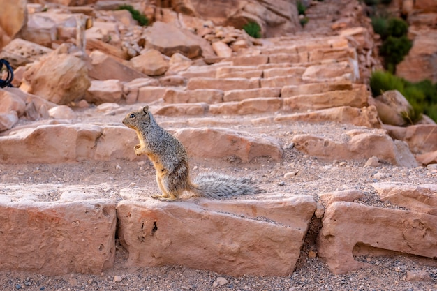 A squirrel playing with tourists in south kaibab trailhead. grand canyon, arizona Premium Photo
