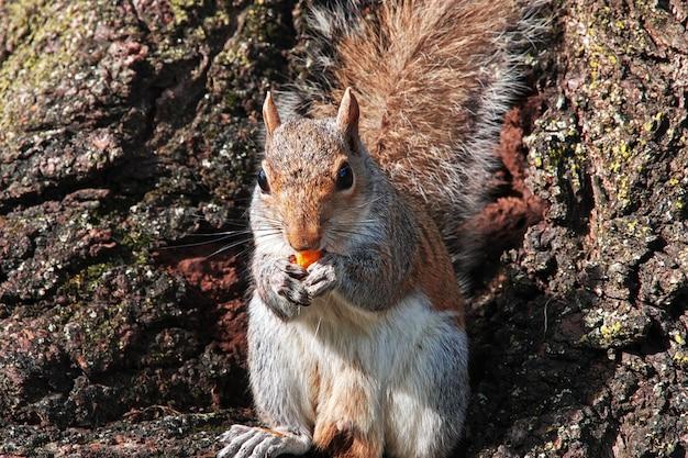The squirrel in washington, united states Premium Photo