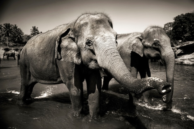 Sri lankan elephants. Free Photo