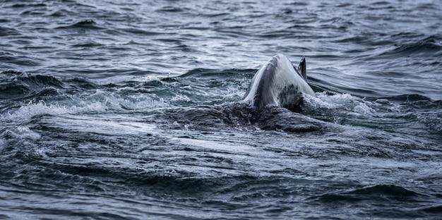 Mare e coda di balena durante il nuoto Foto Gratuite