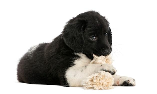 Щенок stabyhoun, лежа жевать игрушку веревку, изолированные на белом Premium Фотографии