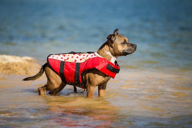 Staffordshire bull terrier diving Premium Photo