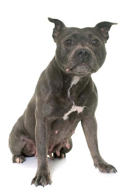 Staffordshire bull terrier Premium Photo