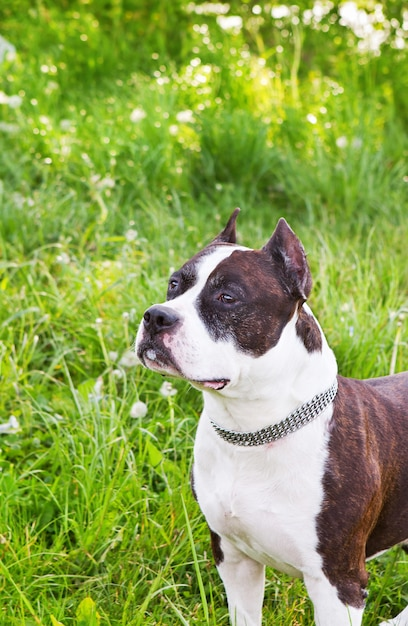 Staffordshire terrier on a meadow Premium Photo