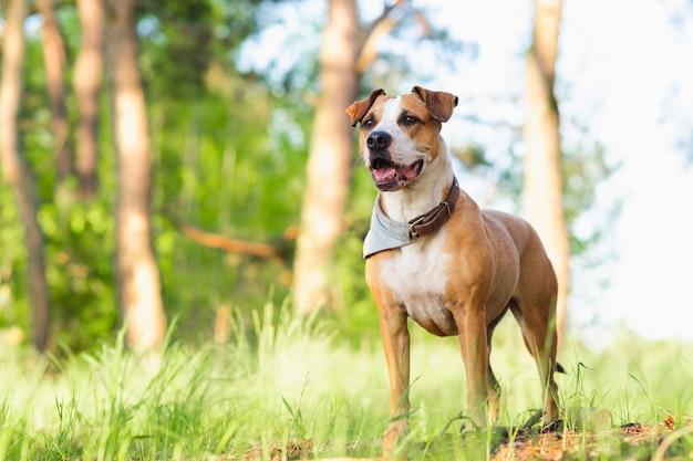 Стаффордширский терьер дворняга на открытом воздухе, счастливые и здоровые домашние животные концепция Premium Фотографии