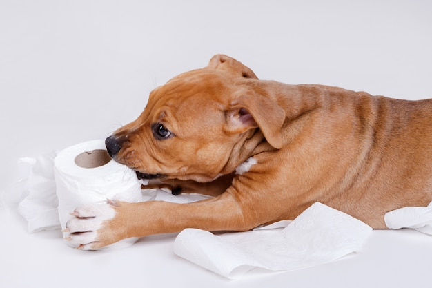 Staffordshire terrier puppy and roll of toilet paper Premium Photo
