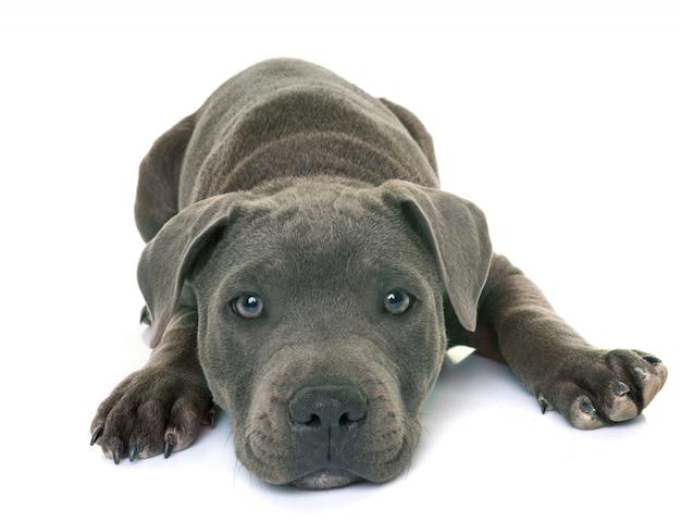 子犬staffordshireブルテリア Premium写真