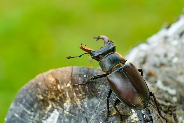 Жук-олень на дереве. большой рогатый жук (lucanus cervus). Premium Фотографии