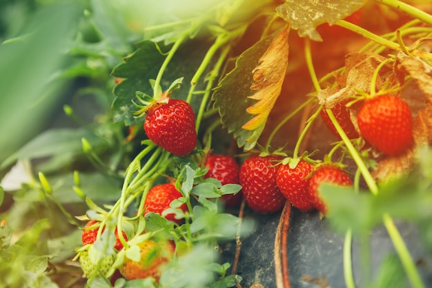 Strawberries on strawberry plant close up in the morning light Premium Photo