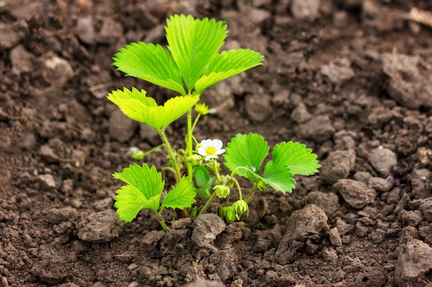 The strawberry bushes in bloom , growing in the ground Premium Photo