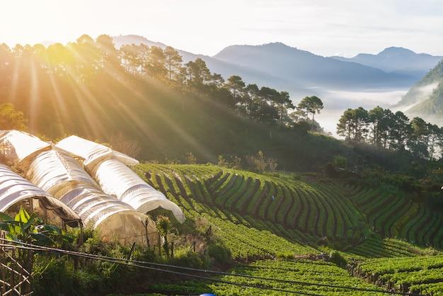 Strawberry farm array layer on hill at doi angkhang mountain, chiangmai, thailand Premium Photo