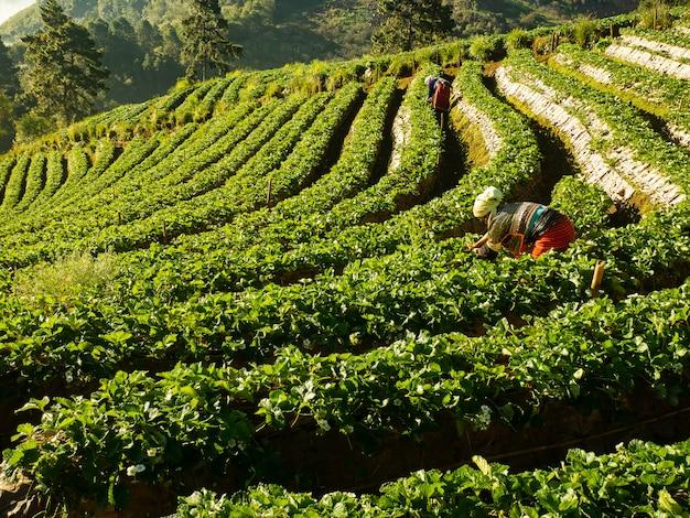 Strawberry farm in field doi angkhang, chiangmai thailand Premium Photo