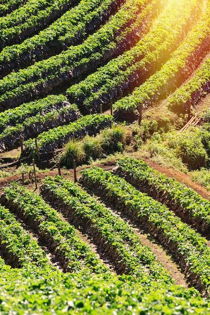 Strawberry farm on mountains in highland of thailand. Premium Photo