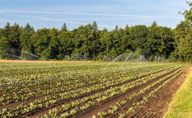 Strawberry field with irrigation in germany Premium Photo