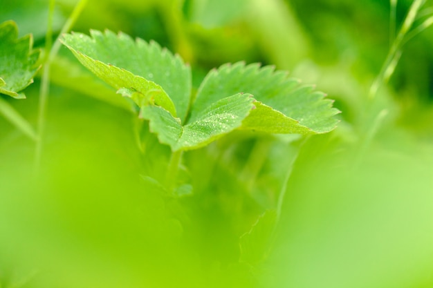 Strawberry leaves background in a strawberry field Premium Photo