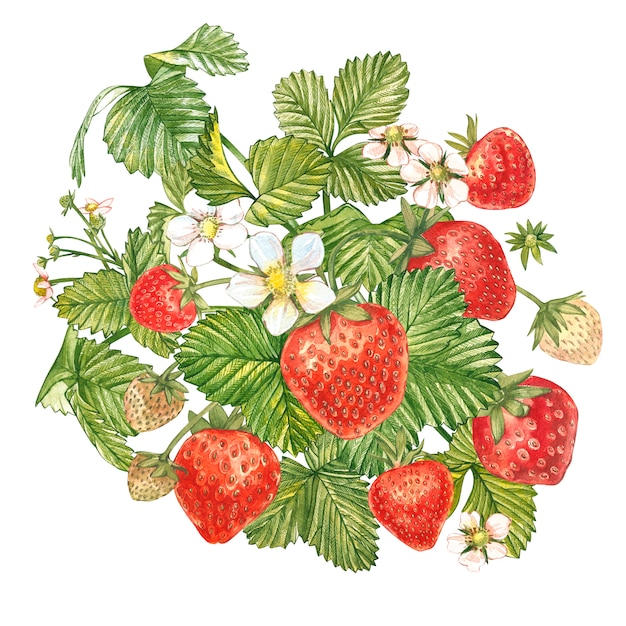 Strawberry leaves with flowers and ripe berries. bright composition of a strawberry bush. hand drawn watercolor painting illustration. Premium Photo