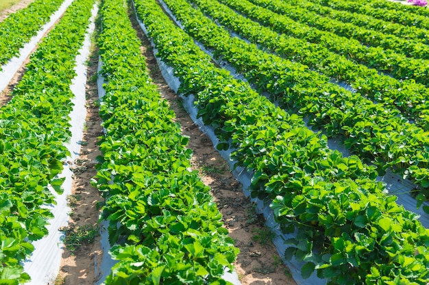 Strawberry plant agriculture industry in asia north of thailand. Premium Photo