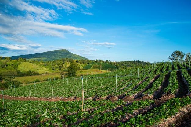 Strawberry plant farm on hill fresh strawberries plantation Premium Photo