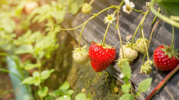 Strawberry plant in an orchard. Premium Photo