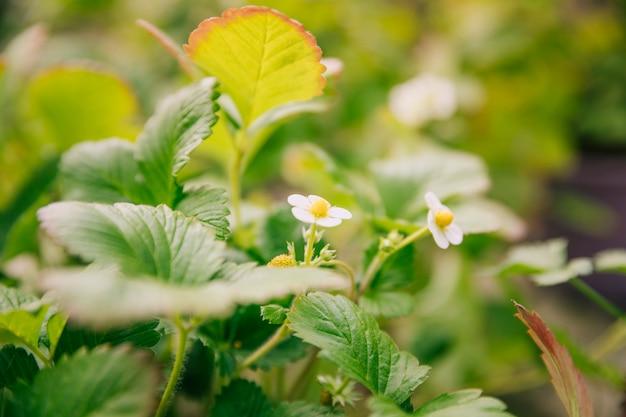 Strawberry white flowering plant in garden Free Photo