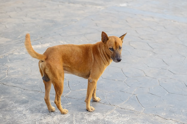A stray dog looking something and stand on the asphalt street. Premium Photo