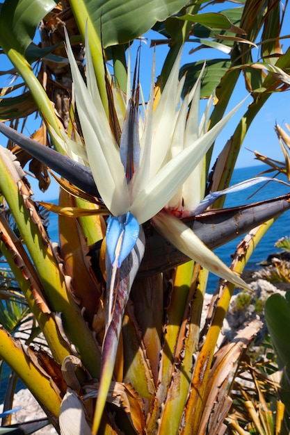 Strelitzia nicolai giant white bird of paradise flower photo giant white bird of paradise flower premium photo mightylinksfo
